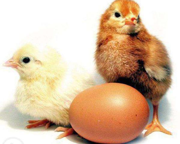 Цыплята браун ник и яйцо