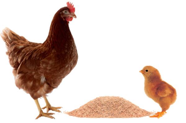 Курица браун ник и цыпленок