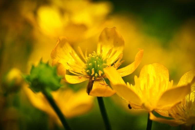 Чистотел на фоне цветов