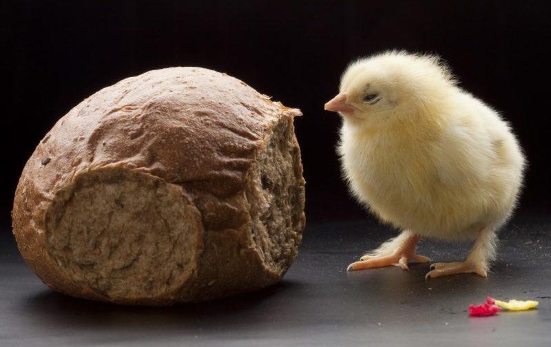 Цыпленок и серый хлеб
