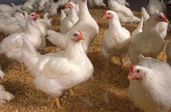 Цыплята бройлеры в курятнике