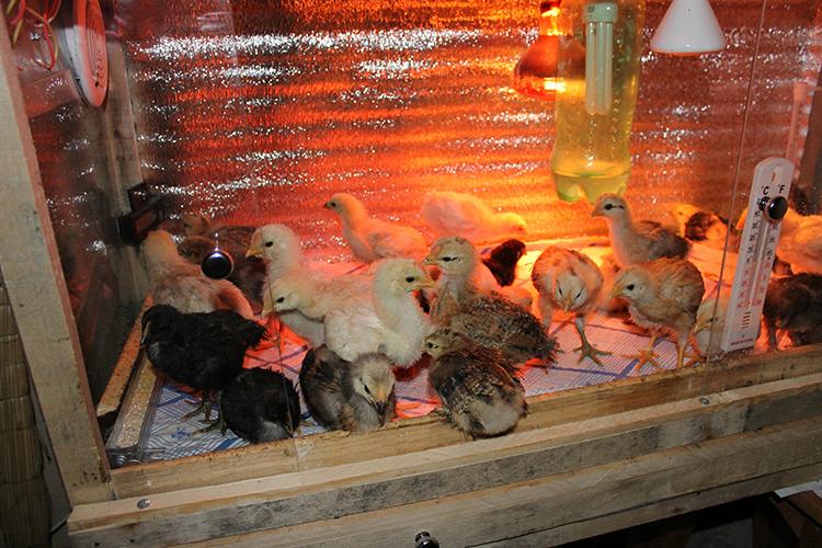 Цыплята в небольшом брудере
