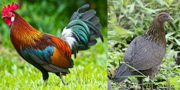 Самец и самка банкивских кур