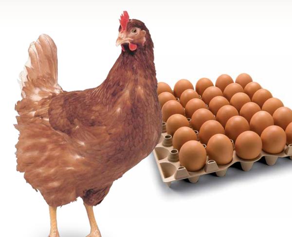 Курица окраса браун и яйца