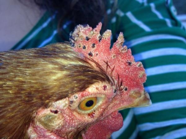 Голова курицы, пораженная клещами