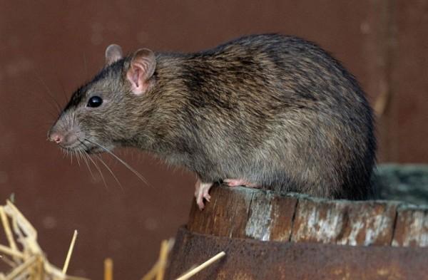 Крыса крупным планом