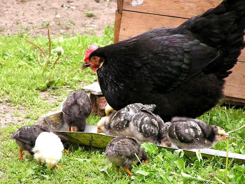 Курочка с цыплятами на улице