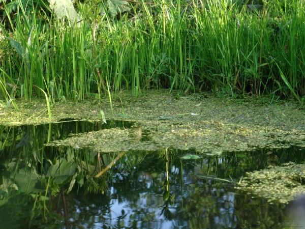 Ряска на поверхности воды
