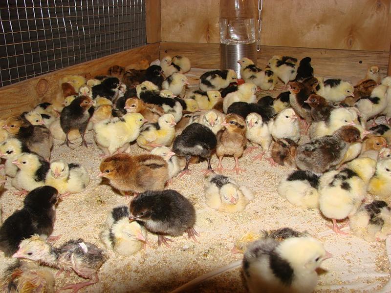 Суточные цыплята в брудере