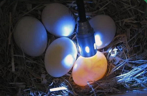 Проверка яиц светом