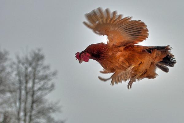 Коричневая курица летит над землей