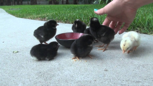 Выпаивание цыплят