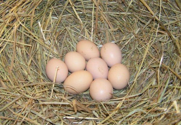 Яйца загорских кур