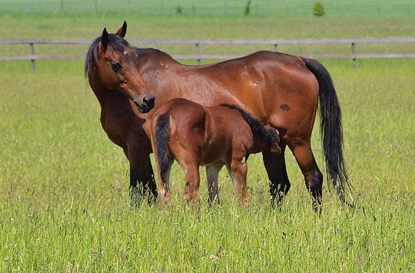 Лошадь с жеребенком на лугу