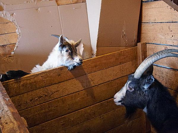Что делать, если козел не переносит закрытых дверей в стойле: совет от специалиста