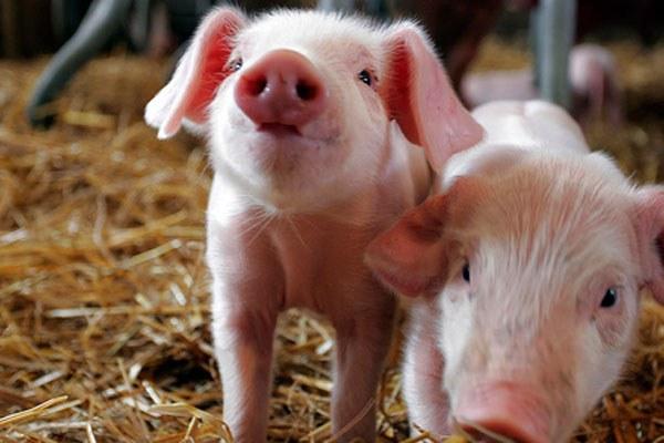 Ферментационная подстилка с бактериями для свиней и поросят: биохлев без запаха и отзывы о нем